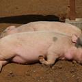 Photos: ミニブタは寝ている…(-_-)zzz