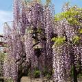 5月の爽やかな青空と藤棚 *c