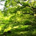 写真: 腰掛岩に覆い被さる緑葉
