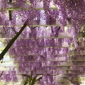 ガーデンの垂れる藤 *a