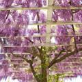 ガーデンの垂れる藤 *c