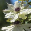 初夏の陽射しの下のクレマチス