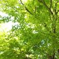 写真: 眩い新緑