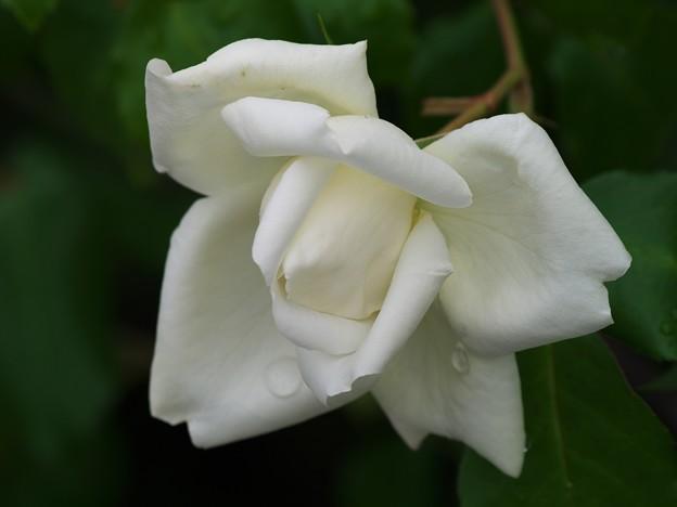 雨上がりの薔薇 *a