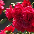柿田川公園の赤い薔薇 *a