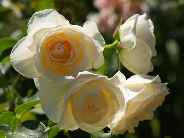 初夏の陽光を浴びるバラ