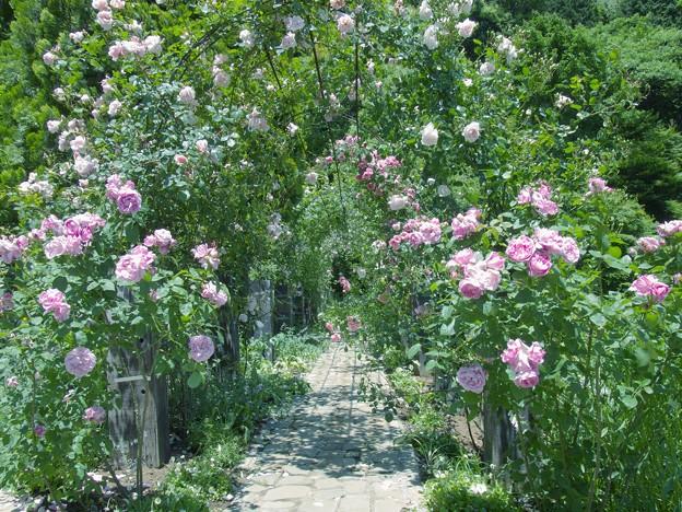 Photos: 薔薇の小径 *a