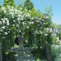 Photos: 薔薇に囲まれて
