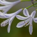 写真: アガパンサス咲く季節 *b
