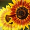 写真: 夏の朝陽を浴びる向日葵