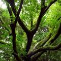 雨上がりの大樹