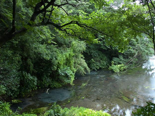 湧水溢るる柿田川 *b