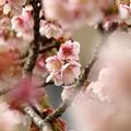 熱海桜は咲き始め~前ボケ桜に包まれて