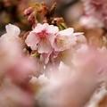 春の香り~熱海桜 *a