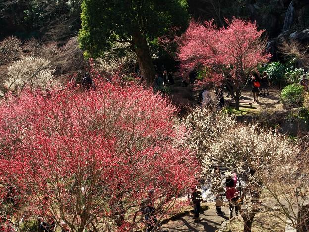 写真: 熱海梅園は4分咲き *a