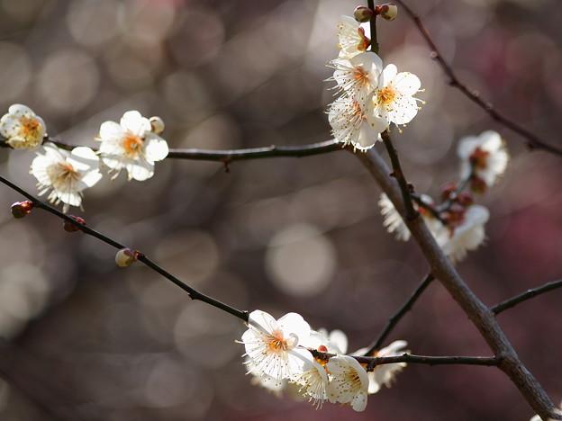 熱海梅園は4分咲き~テレマクロ *b