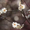 写真: 熱海梅園は4分咲き~テレマクロ *b