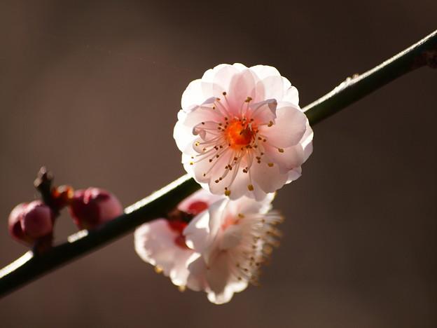 熱海梅園は4分咲き~テレマクロ *e
