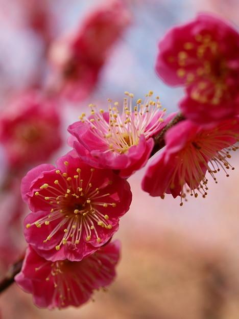 写真: 熱海梅園は春の予感 *b