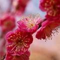 Photos: 熱海梅園は春の予感 *b