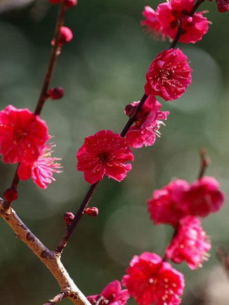 熱海梅園は春の予感 *a