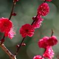 写真: 熱海梅園は春の予感 *a