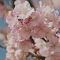伊豆稲取の青空と桜と
