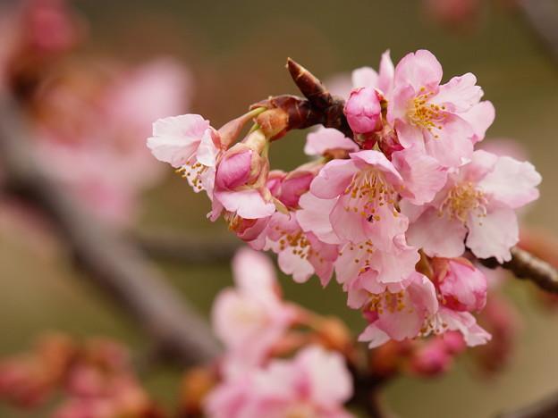 今が旬の早咲き桜