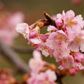 写真: 今が旬の早咲き桜
