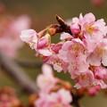 Photos: 今が旬の早咲き桜