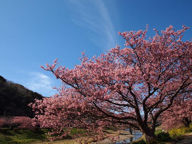 青空と一筋の雲と桜と