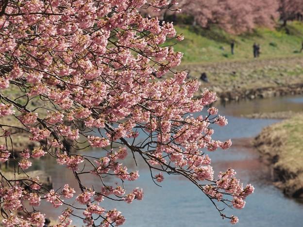 写真: 青野川とみなみの桜と