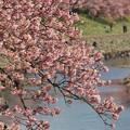 Photos: 青野川とみなみの桜と