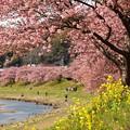 写真: 春色に染まった青野川
