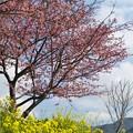 写真: 菜の花、函南桜、春の空