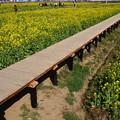 写真: 菜の花畑の回廊