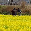 写真: 菜の花畑の彼女たち
