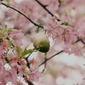 春を貪るメジロ