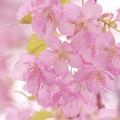 写真: 伊豆の地は春爛漫