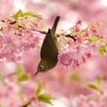 春色に囲まれたメジロ