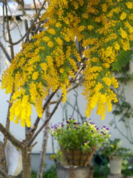 Photos: ミモザの咲く庭