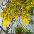 写真: ミモザの咲く庭