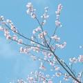 写真: 春霞な桜