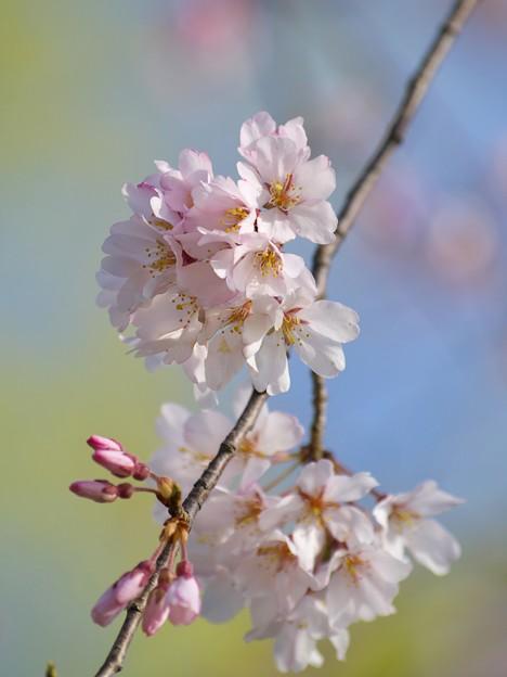 写真: 桜咲くせせらぎ -a