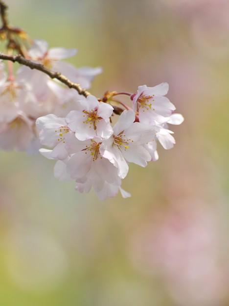 Photos: 桜咲くせせらぎ -c