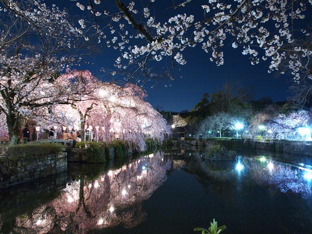神池に映える桜