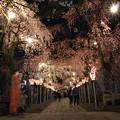 Photos: 夜桜参道