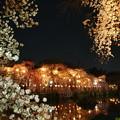 神池を覆う桜