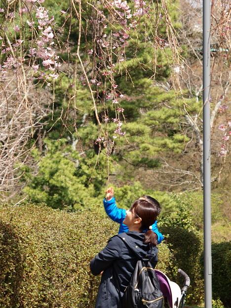 Photos: 親子で見上げるシダレ桜
