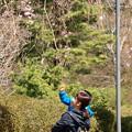 親子で見上げるシダレ桜